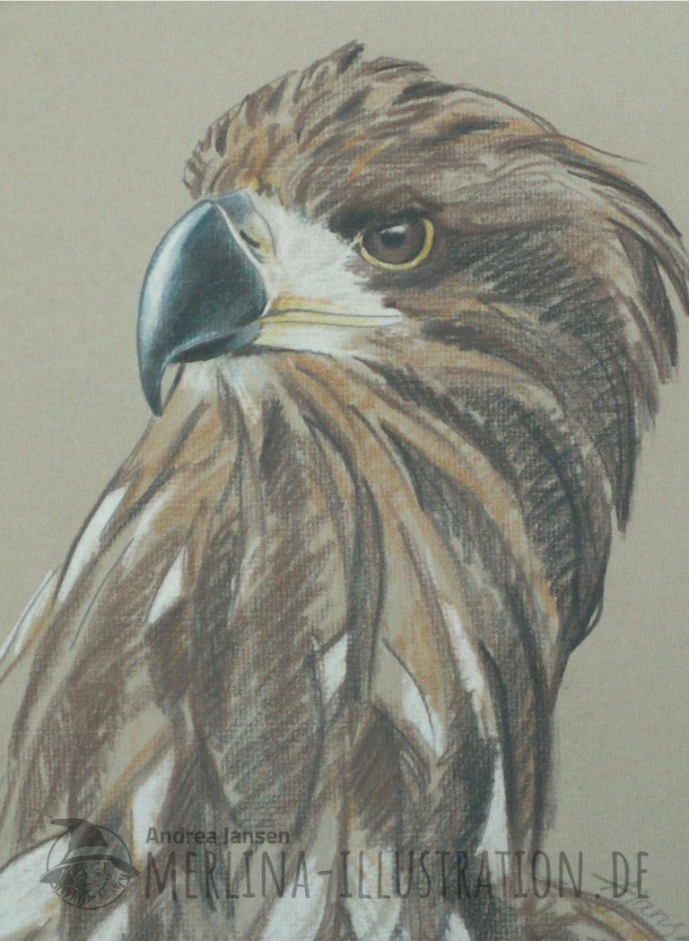 Farbstift-Zeichnung Steinadler-Portrait