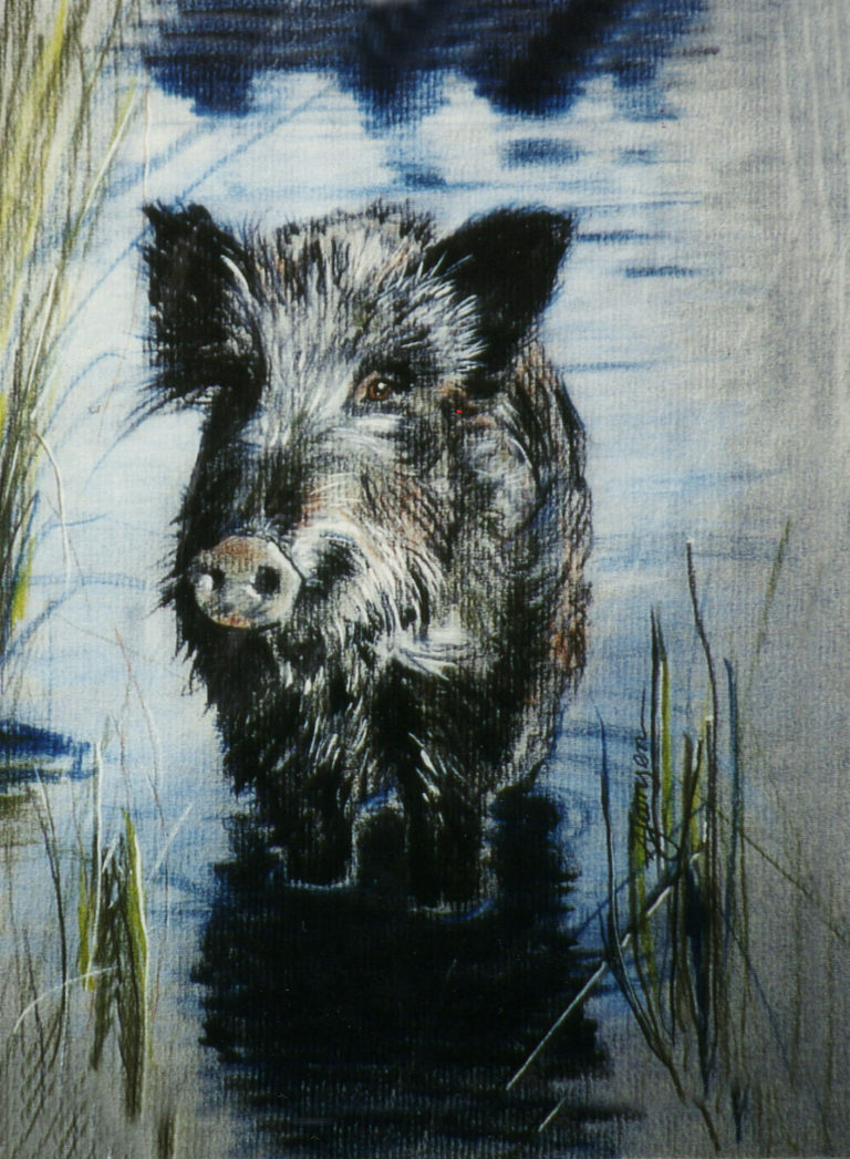 Wildsau steht mit den Beinen im Wasser zwischen dem Uferschilf und sieht den Betrachter an.